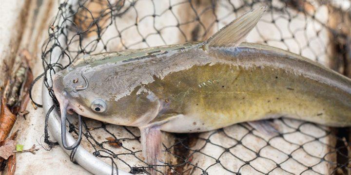 Cara Budidaya Ikan Lele di Kolam Tembok dan Tips Pemeliharaannya