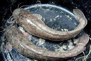 Ternak Lele Pemula, Inilah Cara dan Tips dalam Pemeliharaannya