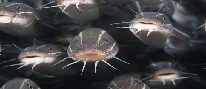 Jenis Ikan Lele yang Banyak di Budidayakan di Indonesia