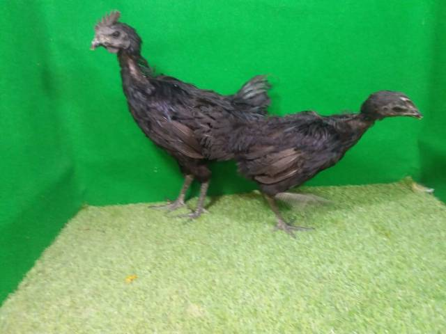 When the ayam cemani chickens are teenagers, they can be kept in a cage or indulged. | Young Cemani
