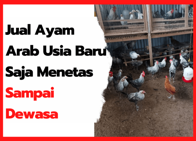 Jual Ayam Arab Usia Baru Saja Menetas sampai Dewasa | thumbnail
