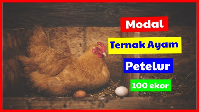 Menentukan Modal Ternak Ayam Petelur 100 ekor