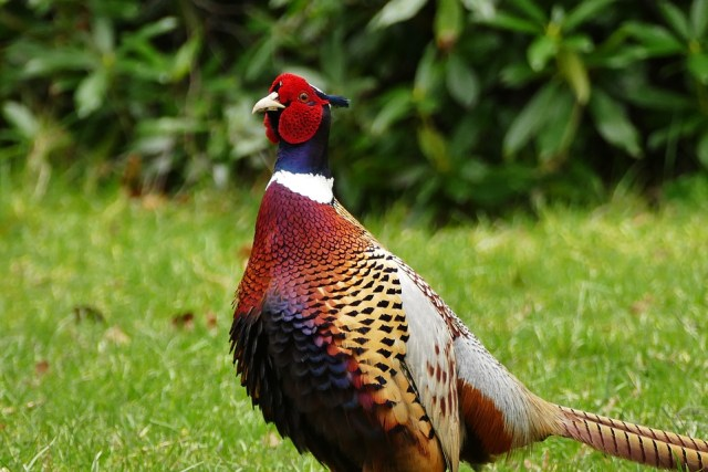Ringneck pheasant atau ayam pegar kalung