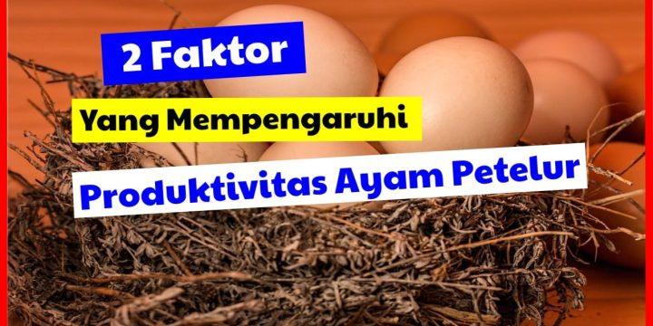 Harga Bibit Ayam Petelur & 2 Faktor yang Mempengaruhi Produktifitas Ayam Petelur