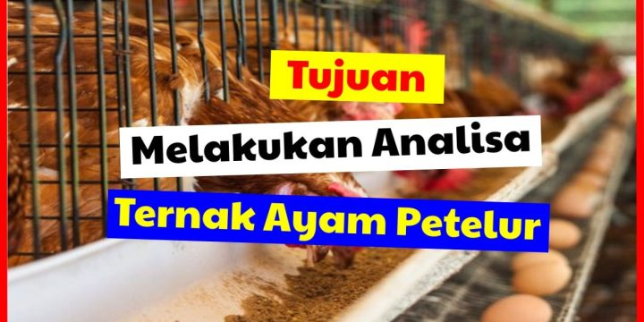 Tujuan Melakukan Analisa Usaha Ayam Petelur Sebelum Memulai Beternak