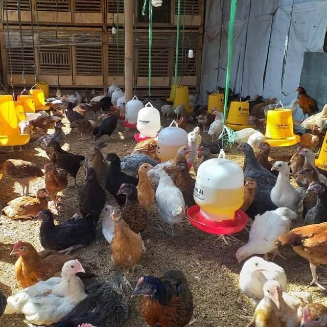 Ayam JOPER adalah persilangan dari ayam bangkok pejantan dengan petelur betina