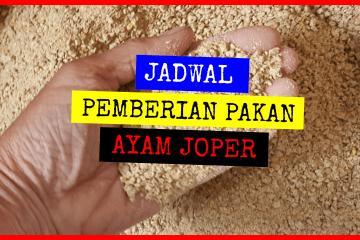 JADWAL PEMBERIAN PAKAN AYAM JOPER
