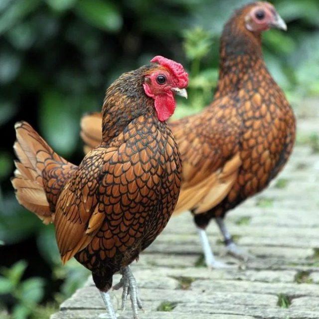 Untuk mencegah ayam batik terkena serangan penyakit maka kita perlu melakukan perawatan yang benar