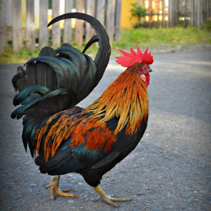 6 Tips Dalam Memilih Makanan Ayam Kate Agar Cepat Bertelur