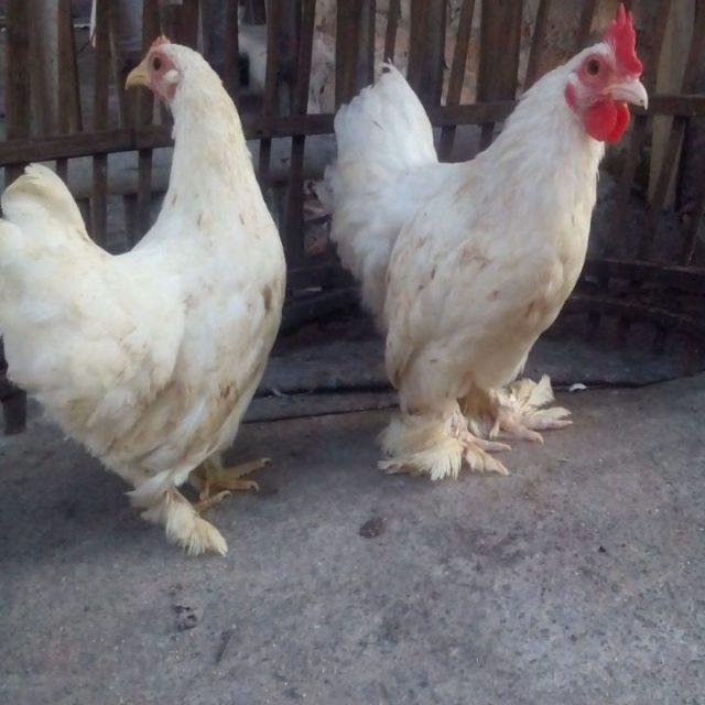 Ayam Kate Simbar
