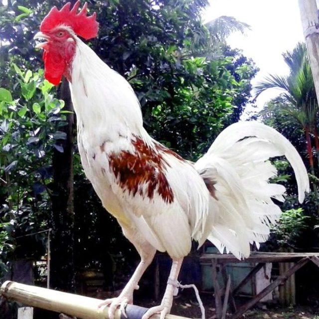 Ayam ketawa biasa di sebut dengan ayam jantan dari timur