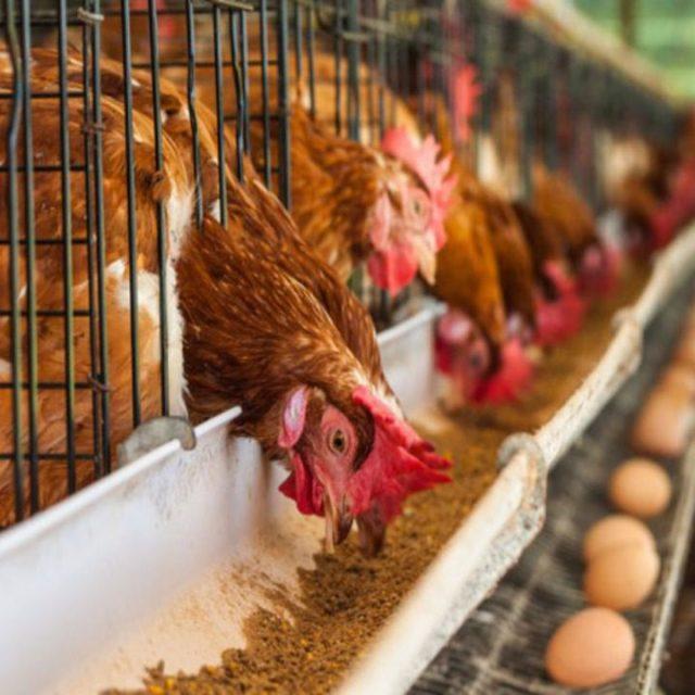 Pembuatan model kandang seperti ini akan membuat ayam kampung lebih optimal dalam menghasilkan telur serta menjaga pola makan tetap terjaga | image 2