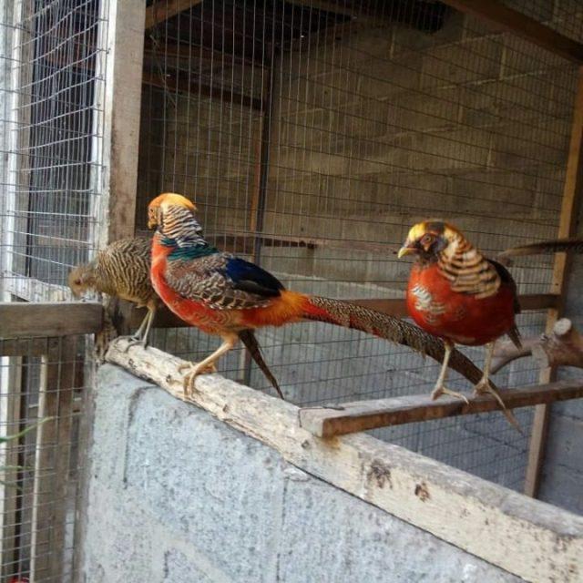 Kandang ayam pheasant yang di lengkapi dengan tempat bertengger | Image 8