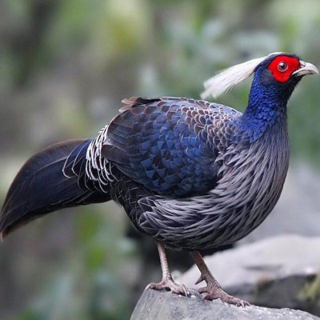 Khalij Pheasant