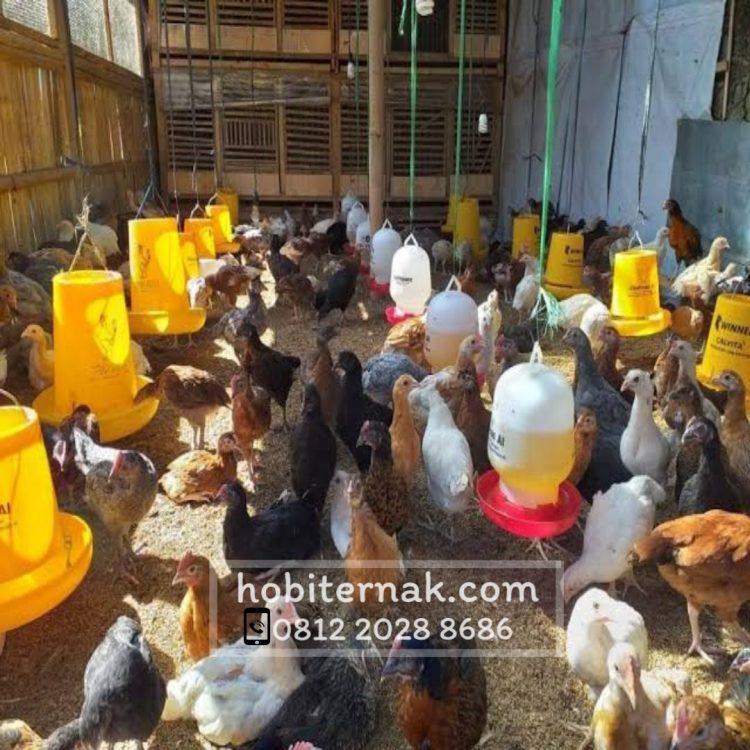 Berikut adalah salah satu foto ayam kampung super atau JOPER. Warna ayam ini bermacam-macam ada coklat, putih atau hitam.