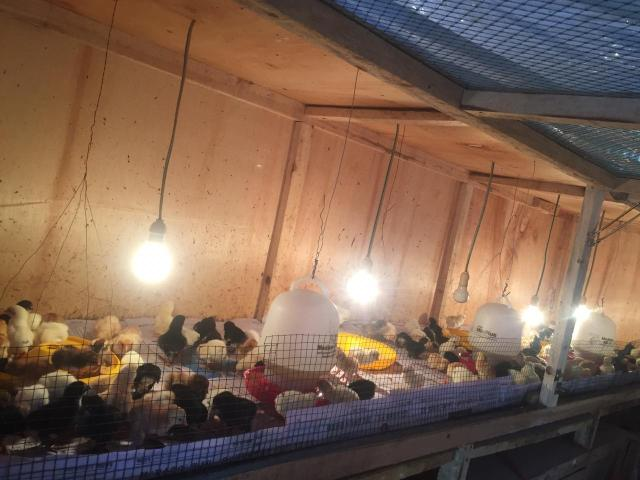 Ukuran kandang ayam JOPER di sesuaikan dengan berapa kapasitas yang akan di pelihara atau di ternakan