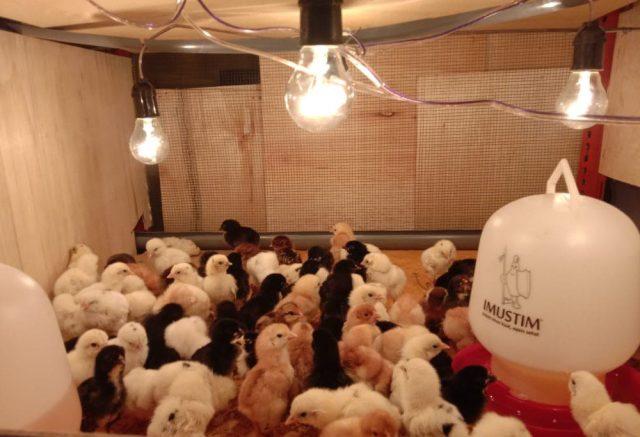 Hobiternak.com sedia bibit / DOC Ayam Kampung Super dan siap kirim ke seluruh wilayah Indonesia