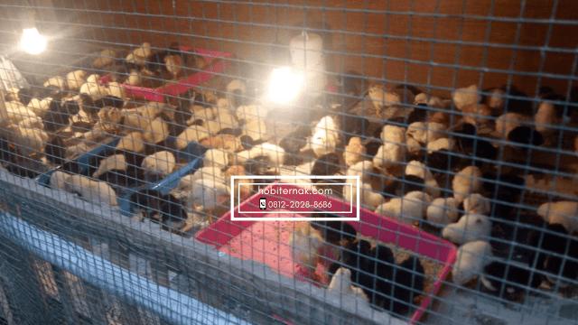 Beternak ayam Joper (Ayam Kampung Super)