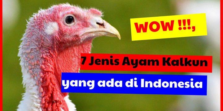 Mau Ternak Kalkun?, Kenali Dulu 7 Jenis Kalkun yang Ada di Indonesia