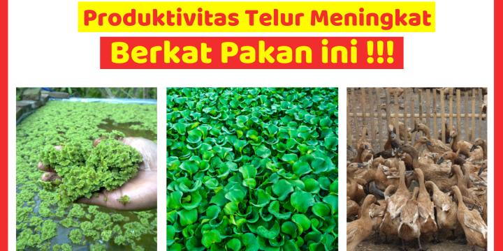 Tingkatkan Produktifitas Telur Bebek dengan Pakan Alternatif
