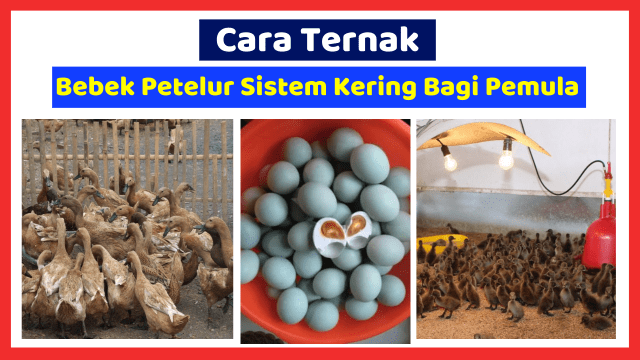 Pemeliharaan Bebek Petelur Sistem Kering