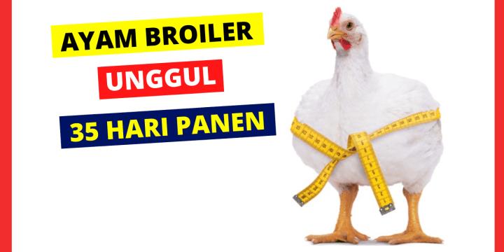 Ciri ciri Ayam Broiler Sehat dan Berkualitas Siap Produksi