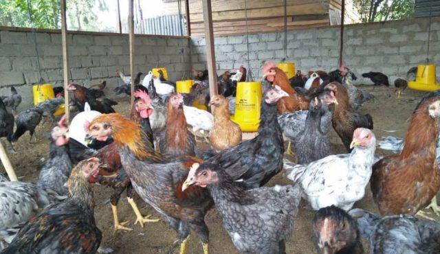 Ayam KUB yang merupakan ayam galur baru yang telah diakui secara nasional sejak 2012 lalu | Image 1