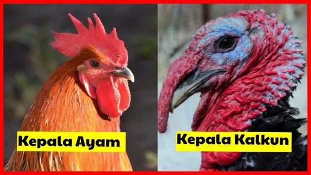 Perbedaan Kepala Kalkun dan Kepala Ayam