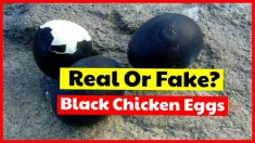 Real Or Fake - Black Chicken Eggs