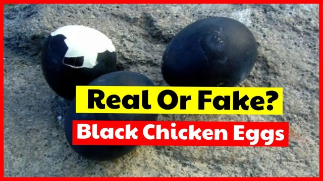 Is it real or fake about the existence of black chicken eggs?