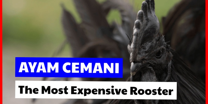 The Most Expensive Rooster In The World? Let's See This Ayam Cemani!