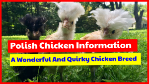 Polish chicken information, wonderful chicken breed for your backyard.
