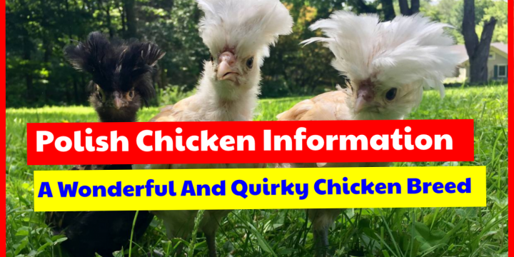 Polish Chicken Information: A Wonderful And Quirky Chicken Breed
