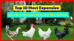 List of Top 10 Most Expensive Chicken Breeds Around The World.