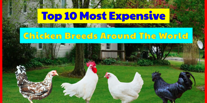 Top 10 Most Expensive Chicken Breeds, Guess What's In No. 1?!