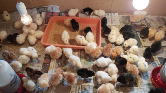 Saat usia ayam kampung super (joper) telah memasuki usia 3 hari ayam sudah dapat diberikan vaksin.Vaksin tersebut sangat berguna agar kekebalan tubuh ayam menjadi lebih baik dan tahan terhadap berbagai serangan penyakit | Joper di kandang bok