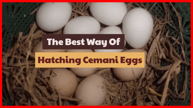 How to hatching cemani chicken eggs to succeed.