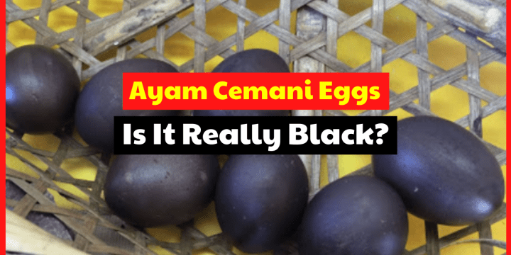 Fact About Ayam Cemani Chicken Eggs Color, Is It Really Black?