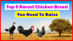 Top 9 Rarest Chicken Breed, You Need To Raise to keep their existence.