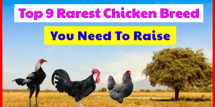Top 9 The Rarest Chicken Breeds, How Rare Are They?