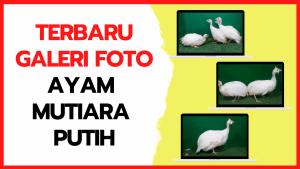 Galeri Foto Ayam Mutiara Putih Terbaru