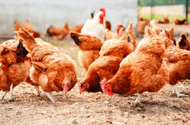 Perawatan ayam harus dilakukan secara optimal supaya ayam tidak sakit I Image 1