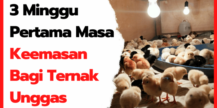 3 Minggu Pertama Masa Keemasan Bagi Ternak Unggas