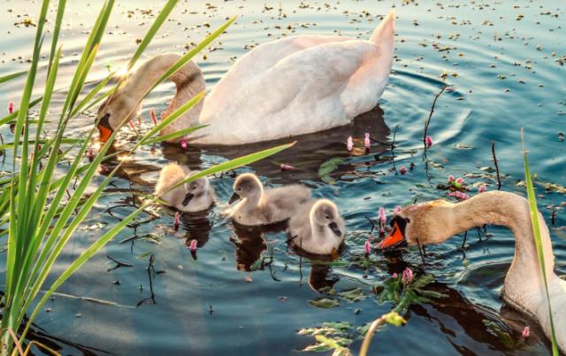 Angsa yang sedang mencari makan di kolam | Image 3