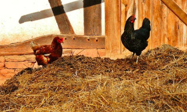 Kotoran ayam yang menumpuk dapat dirubah menjadi pundi - pundi uang | image 3