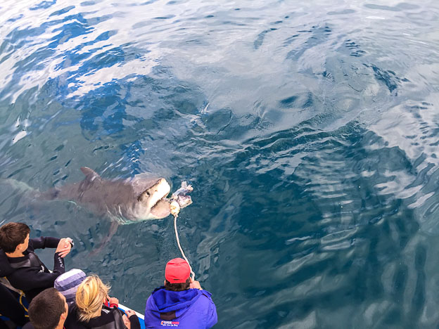 shark-cage-diving-south-africa-white-shark-alley