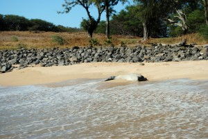 Here is a Hawaiian Monk Seal. Only 1,100 of these endangered guys left on Earth. We did not almost trip over this one like we did the one mentioned in the last blog - but there he was, just laying on the beach enjoying the sun... just like us.