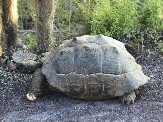Dome shaped wild giant tortoise