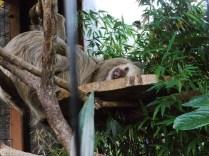 Ceci est un paresseux / This is a sloth