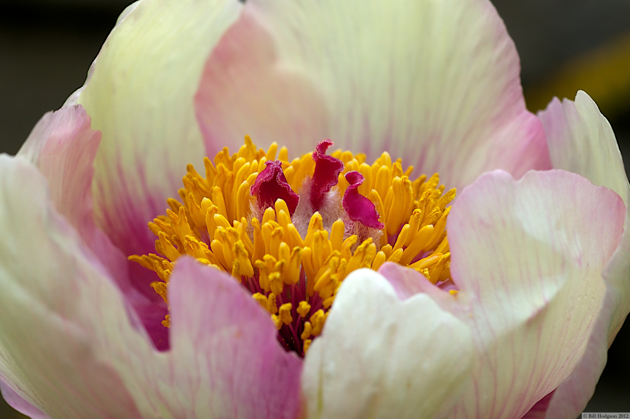 Peonie 'Molly the Witch'